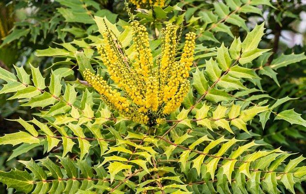 dekorativní stálezelená mahónie,  Mahonia japonica