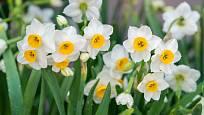 Narcis (Narcissus) patří k nejpopulárnějším zahradním cibulovinám.