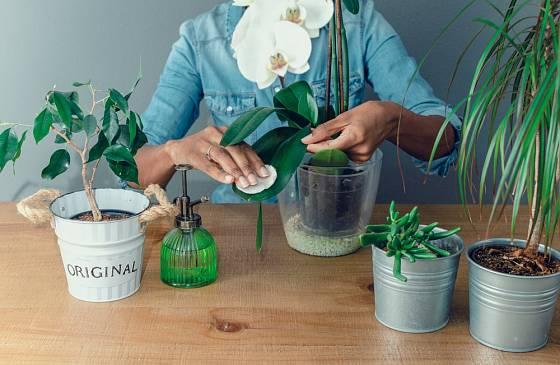 Listy orchideje zbavíme prachu bavlněným kosmetickým tamponem.