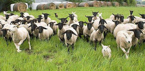 Ovce Suffolk