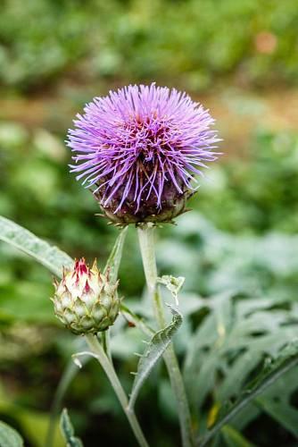 Pohledné květenství léčivé trvalky parchy saflorové