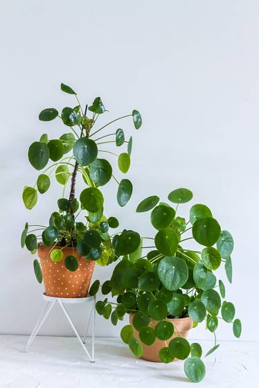 Pileu peperomioides možná znáte pod názvem palačinková rostlina.