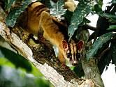 Cibetka je malé zvíře, díky němuž známe skvělou kávu