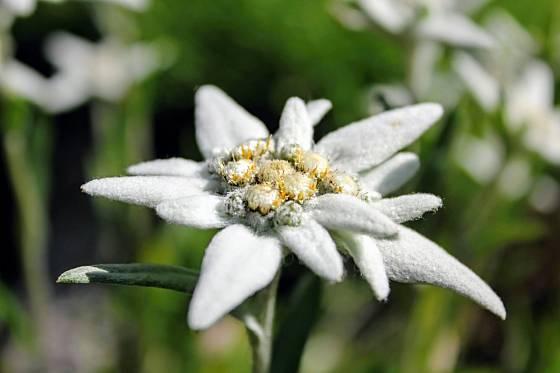 Protěž alpská (Leontopodium alpinum) je výjimečně krásná skalnička