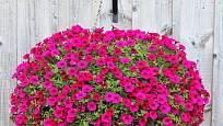 Spojením dvou košů k sobě vypěstujeme okouzlující závěsnou kouli plnou nádherných  květů.