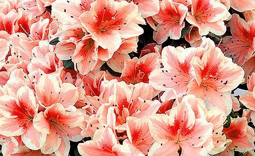 Azalka (Rhododendron simsii)