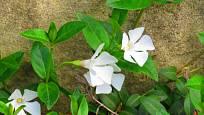 Barvínek menší, kultivar Alba s bílými květy.