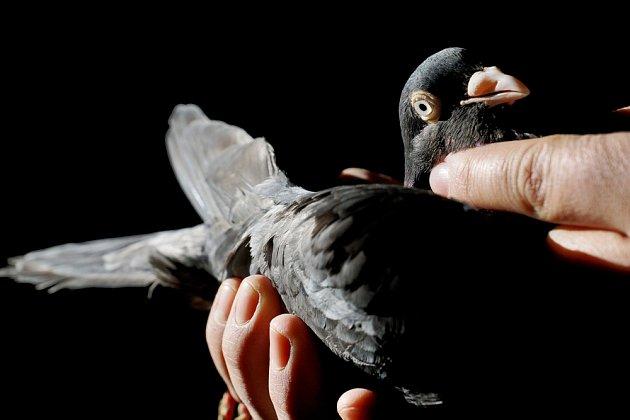 Holubáři mívají své holuby ochočené a milované