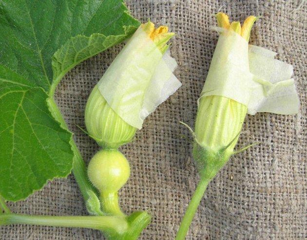 Izolovaný samčí a samičí květ