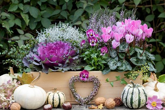 Krásnohlávek jako součást podzimního truhlíku.