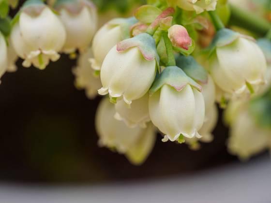 Zahradní borůvky kvetou bíle
