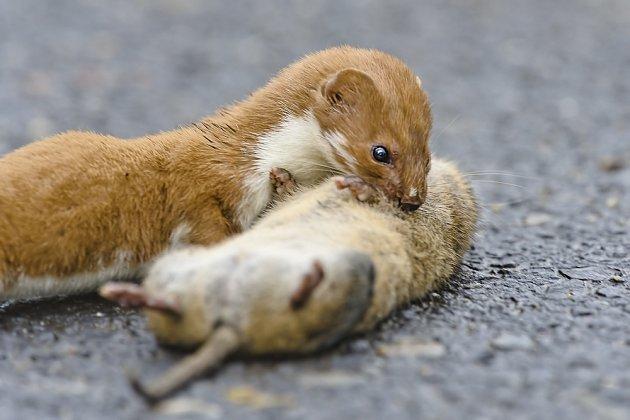 I na velkého potkana si lasička troufne