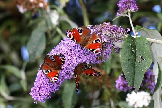 Babočky paví oko hodují na motýlím keři.