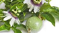 Mučenka - květy a dozrávající plod.