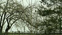 Kmeny stromů pomůže ochránit nátěr bílou barvou.