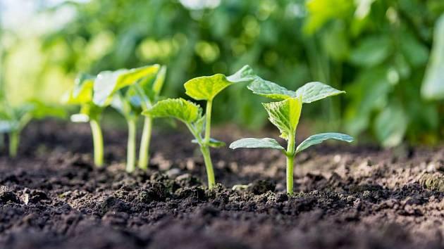 Semenáčky okurek rostou rychle
