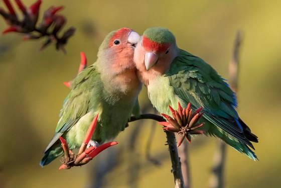 Papoušíci potřebují společnost