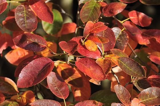Listy muchovníku dostávají na podzim zajímavé zbarvení.
