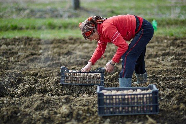 Na světě existuje přes 4000 odrůd brambor, nicméně běžně využívané jsou jen desítky z nich.