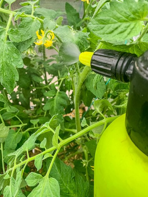 Z vyštípnutých kousků rajčat lze vyrobit postřik na mšice a plísně