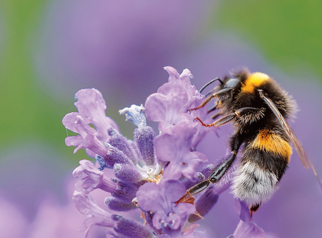 Levandule – květy opylované hmyzem vadí zřídka Lipnice luční