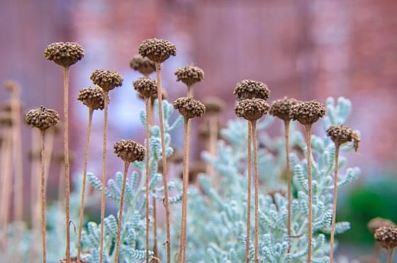 Santolina cypřiškovitá je stálezelená, silně aromatická bylina