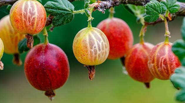 Angrešt - červený i zelený - dokáže naše jídla krásně obarvit.