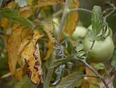 Důvodů, proč listy na rostlinách rajčat žloutnou, může být hned několik.
