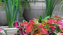 africká kopřiva (Solenostemon scutellarioides) jako přenosná rostlina