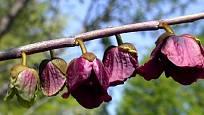 Banán Pawpaw - květy