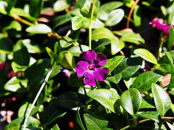 Kultivar barvínku menšího s tmavě fialovými květy - Atropurpurea..