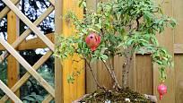 granátovník jako bonsaj