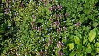 V trávníku není vítaná ani hluchavka nachová (Lamium purpureum). fedoseevaolga