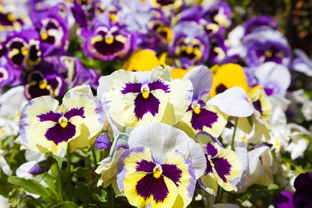 Maceška zahradní (Viola x wittrockiana)