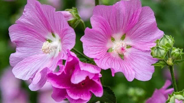 Oleandry - krásné, ale smrtelně jedovaté