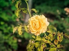 Co na podzim s růžemi, aby nehnily?