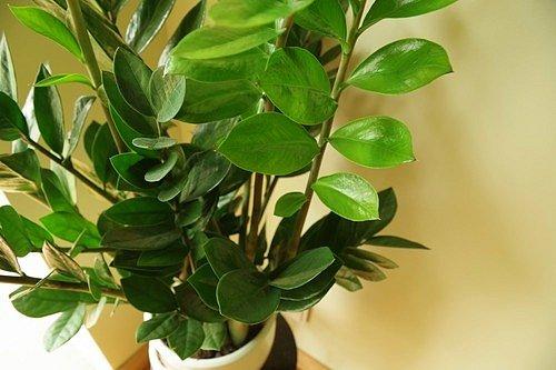 Kulkas zamiolistý (Zamioculcas zamiifolia)