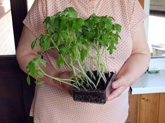Vytáhlé rostliny rajčat - příliš hustý výsev, navíc včas nepřepíchaný.