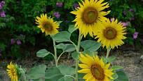 Slunečnice rozzáří každou zahradu