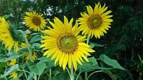 Slunečnice mohou posloužit i jako kvetoucí větrolam