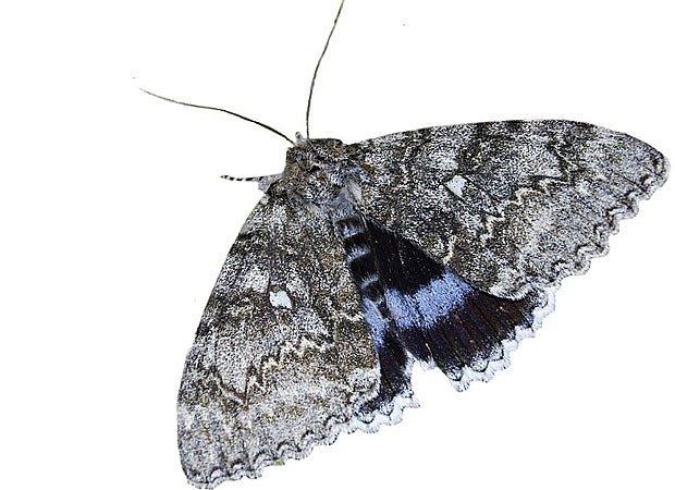 Stužkonoska modrá (Catocala fraxini)