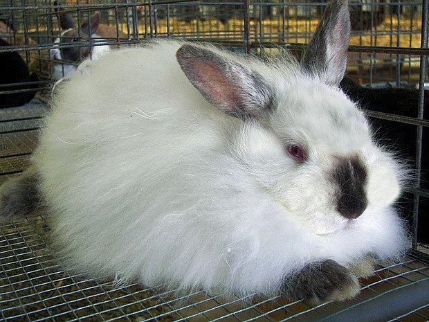výstavní králík