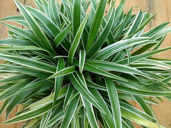 Zelenec chocholatý (Chlorophytum comosum)