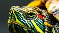 Svou nádhernou hlavu želva v případě ohrožení schová pod krunýř