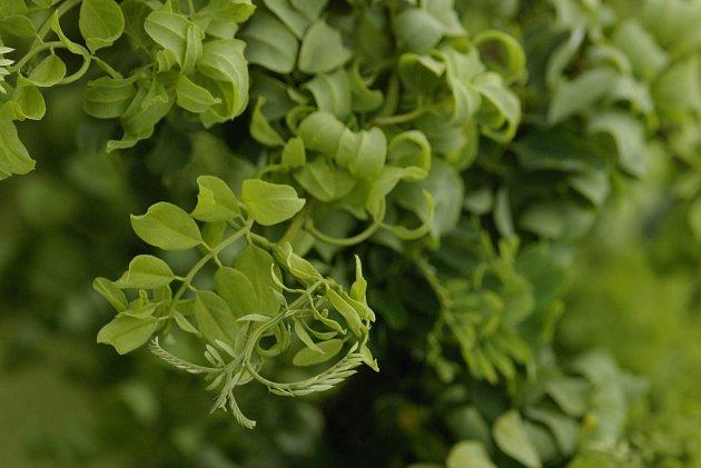 kultivar trnovníku akátu (Robinia pseudoacacia) Twisty Baby