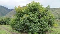 avokádo čili hruškovec přelahodný (Persea americana)