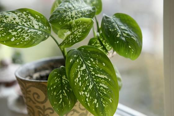 Difenbachie (Difenbachia) patří k jedovatým pokojovým rostlinám