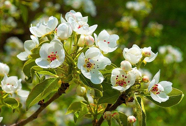 hrušeň v květu