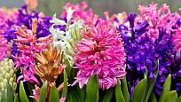 Hyacinty provoní celou zahradu