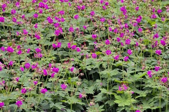 kakost oddenkatý (Geranium macrorrhizum)